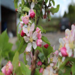 Apple-blossom-gallinagh-nursery