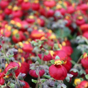 Calceolaria-Red-gallinagh-nursery