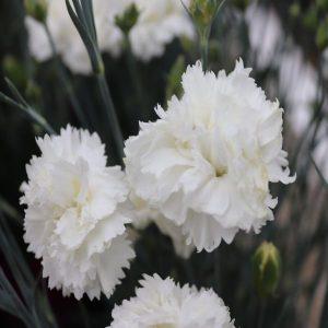 Dianthus-Memories-gallinagh-nursery