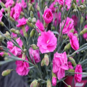 Dianthus-Tickled-Pink-gallinagh-nursery